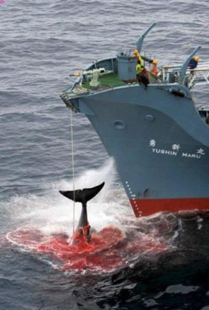 La sangrienta y prohibida caza de ballenas. 2010. Taringa.net.