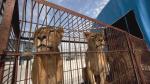 Los animales del circo sufren un gran estrés. 2015. Eldiario.es.