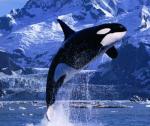 Los grandes cetáceos podrían llegar a desaparecer. Culturamix.com.