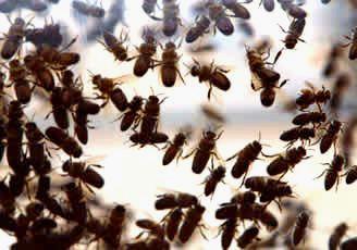 Ls abejas generan 15.000 millones de dólares al sector agrícola en EE.UU. Cnnexpansion.com. Foto: Jupiter Images.