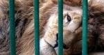 Un león enjaulado. Laoropendolasostenible.blospot.com.es.