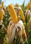 El maíz y sus derivados están presentes en más del 60% de los alimentos transformados.