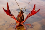 Un cangrejo de río americano.  2010. Elmundo.es. Foto: Héctor Garrido. CSIC