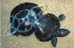 Una tortuga gravemente afectada por un plástico. 2016. Veoverde.com.