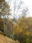 Un bosque de abedules en la pista al Becerril desde Palacios de Compludo (El Bierzo). 23 nov. 08. Fuente Un ecologista en El Bierzo. Foto: Enrique L. Manzano.