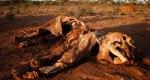 El cadáver de un elefante abatido para despojarlo de sus colmillos. 2016. Savetheelephants.org.