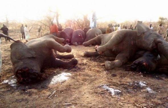 Matanza de elefantes por cazadores furtivos para apropiarse de sus colmillos. 2016. Avaaz.org. Foto SOS Elefantes del Chad.